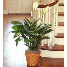 Planta Spathiphyllum (Pequeño)
