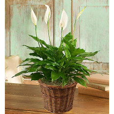 Planta Spathiphyllum de la condolencia (Pequeño)