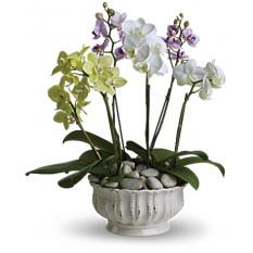 Las orquídeas Regal