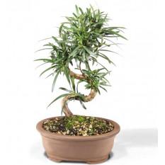 Podocarpus Bonsái