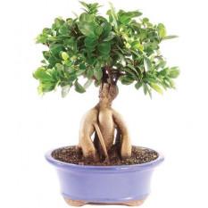 Ginseng Ficus injertado Bonsái