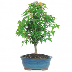 Trident Maple - DT0509TM