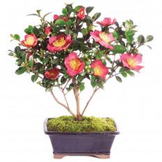 Camellia Bonsái