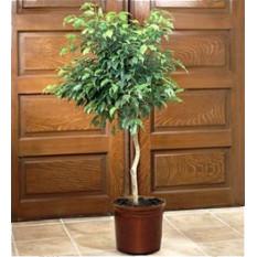 Planta de caucho (Rubber Plantus)