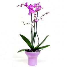 Planta de orquídea fucsia