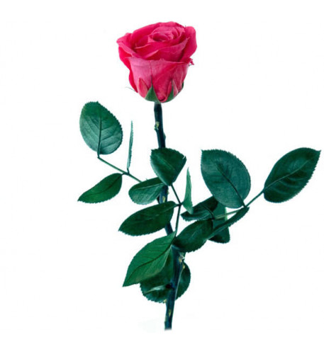 Rosa rosa preservada