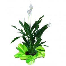 Planta de Spatifilium